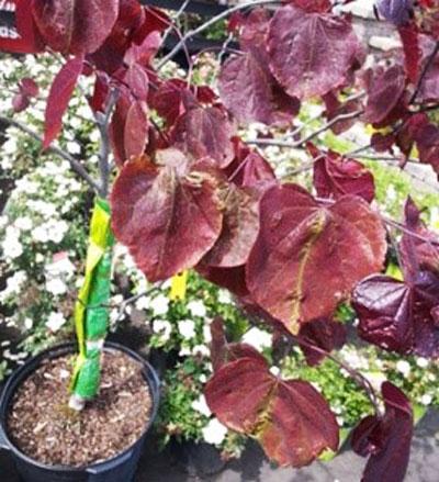 purple redbud leaves malformed (Dan Steever)