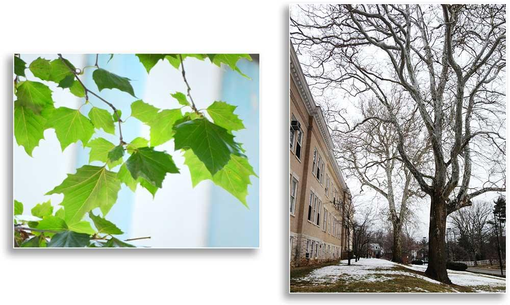 Sycamore leaves (right) and two sycamore trees near UK Scovell Hall