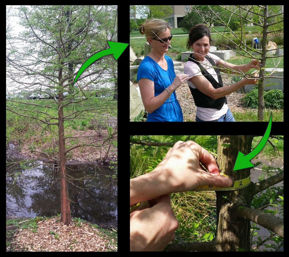 TFISE adopted bald cypress
