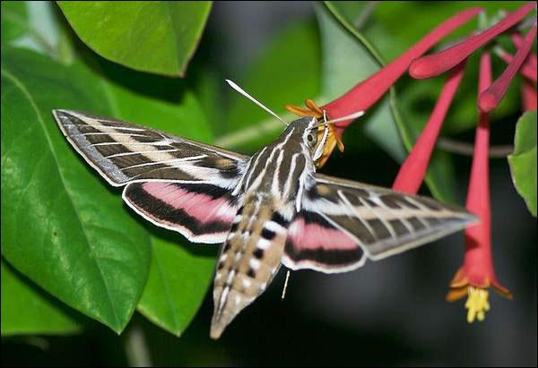 Lonicera sempervirens & White-lined sphinx moth. Photo by Ronnie Pitman
