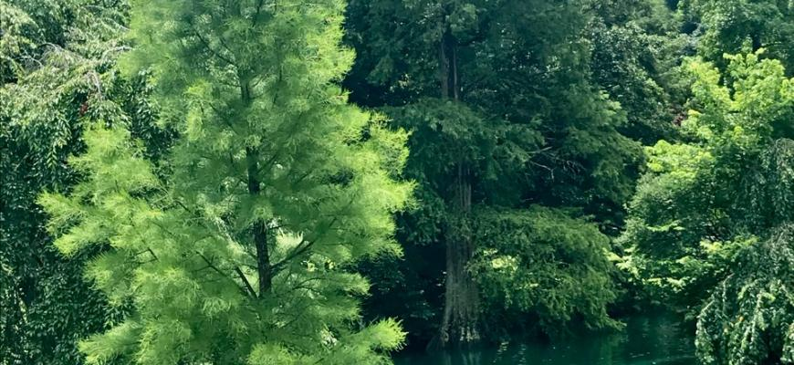 tree week 2021 cemetery conifer walk