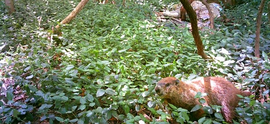 urban forest initiative tree week 2021 skunk bioblitz trail camera