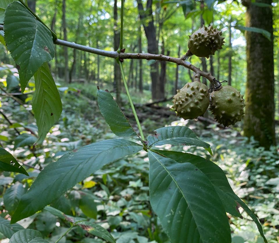 urban forest initiative tree week 2021 floracliff dispersing fruit