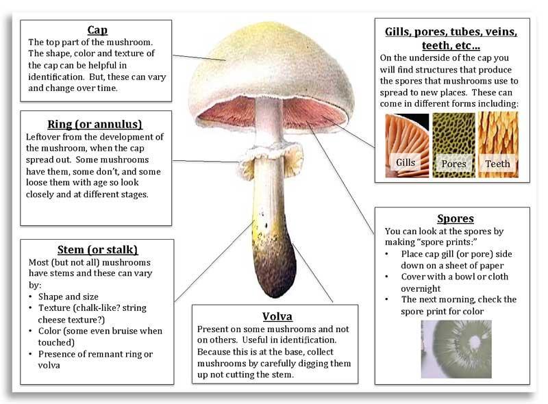 Anatomy of a mushroom