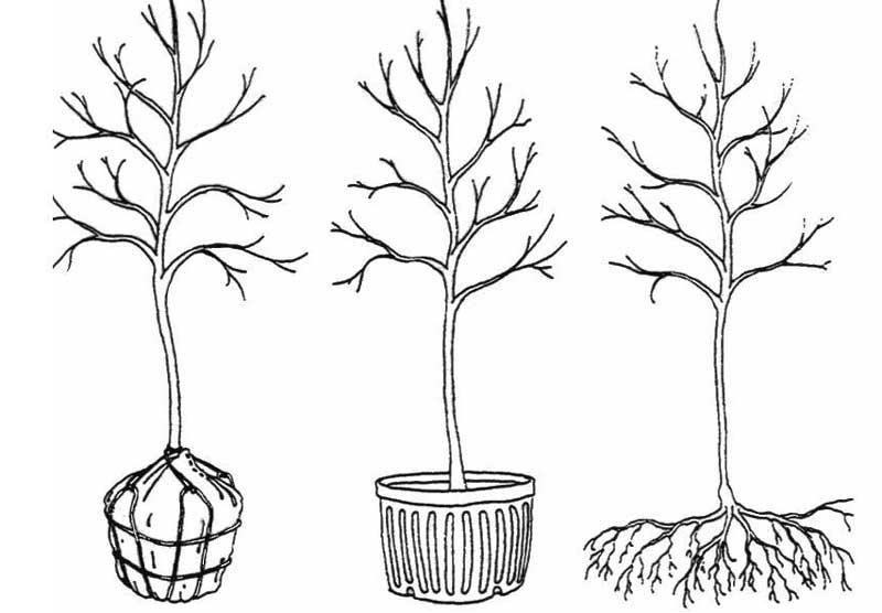 Balled and burlapped, containter and bare root tree (Buffalo Green Fund)
