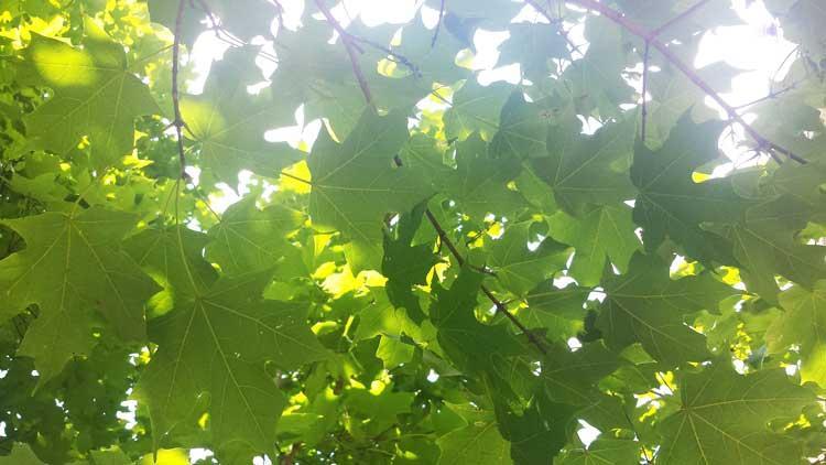 The favorite sugar maple of Sarah in September 2016