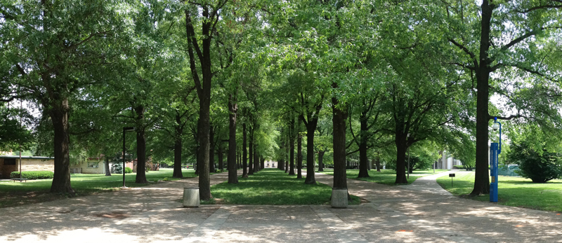 Willow oak (Quercus phellos) allee connecting Kirwan and Blanding Dormitory Complex to central campus in 2014.