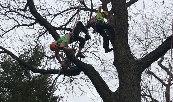 Urban forest Initiative Tree Week 2019 Climbing Competition Setup