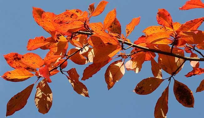 Black gum leaves in fall (Wikimedia)