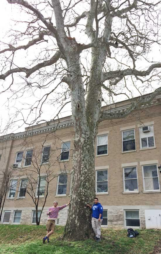The favorite American sycamore of Bryan & Ethan in March 2016