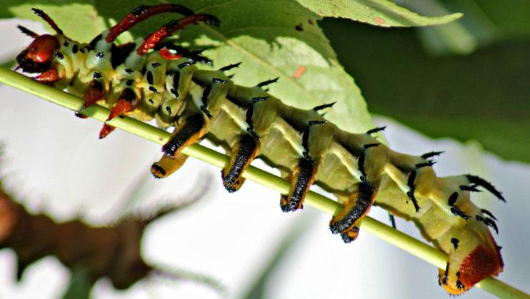 Urban Forest Initiative Tree Week Caterpillars (beyond monarchs and wolly worms)