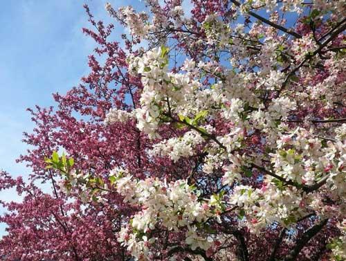 Crabapple tree flowers (Dan Steever)