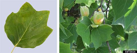 Tulip poplar, Max Hammer; 5473615 yellow-poplar (Liriodendron tulipifera) L. Rob Routledge, Sault College, Bugwood.org