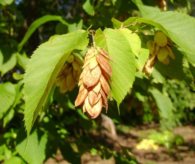 Eastern hophornbeam (Wikimedia)