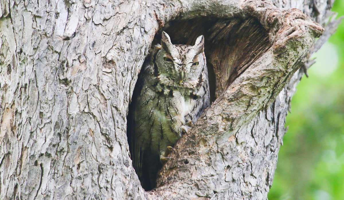 "Eastern screech owl attribution: Gregory ""Slobirdr"" Smith, Flickr"
