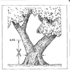 Tree branch fork below DBH. (Illustration from Guide for Plant Appraisal, ISA)