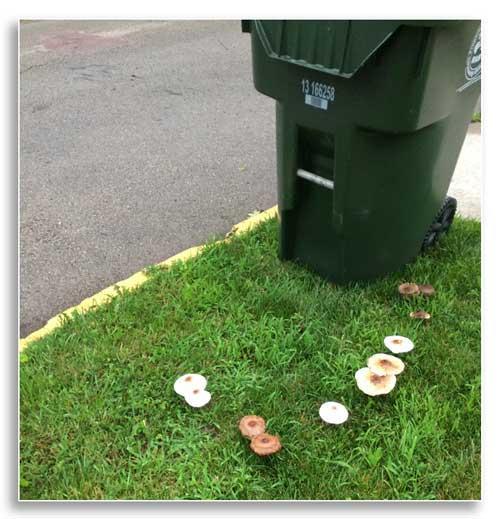 Several different fungi fruiting near trashcan (Ellen Crocker)