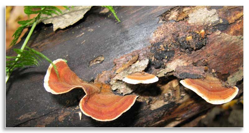 Mushrooms growing on woody debris