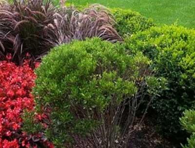 hinoki-cypress-(Dan Steever)