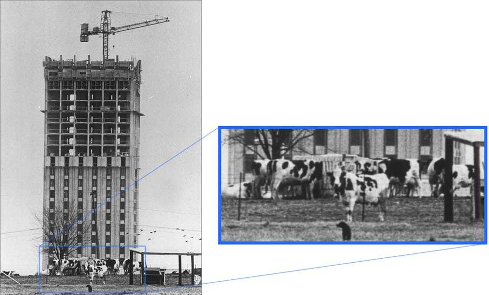 Blanding Tower under construction, dairy cow in foreground on University of Kentucky South Farm (1967) (UK Archives)