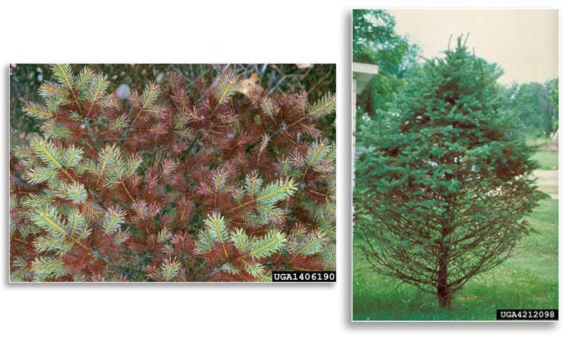 (Right) Needles infected with Rhizosphaera turn purplish brown during summer; (Left)Needle drop and thinning of lower canopy are classic symptoms of Rhizosphaera needle cast in spruce