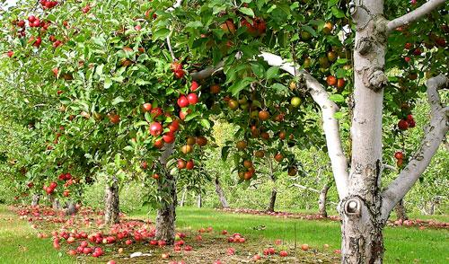 Urban Forest Initiative Tree Week Imagination Station: Apple Orchards—in Spanish & English