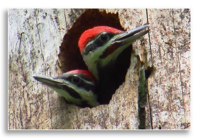 Pileated woodpecker in tree cavity