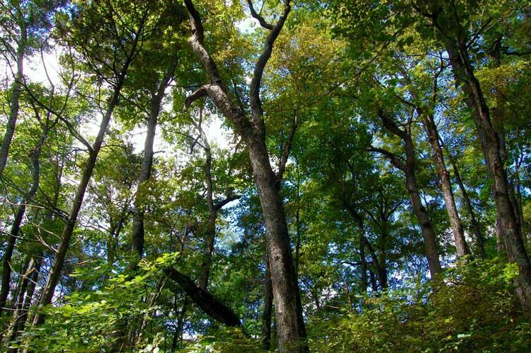 Urban Forest Initiative Tree Week Oaks and Hickories Tree ID