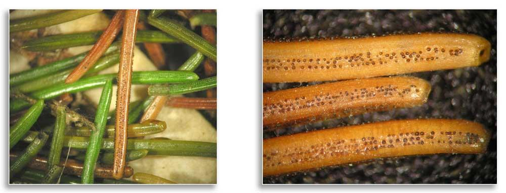 (Left) Fungal pycnidia are often visible without a hand lens. (Photo: Paul Bachi, University of Kentucky); (Right) Fungal pycnidia protrude from stomata. (Photo: Paul Bachi, University of Kentucky)