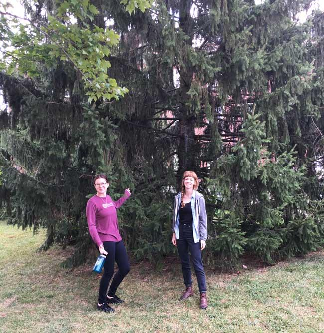 The favorite Norway spruce of Sara and Hannah on University of Kentucky Campus in September 2016