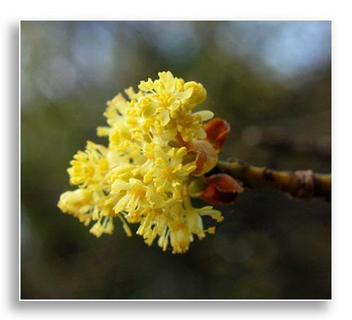 Flowers of sassafras (Sassafras albidum), photo by Beverly James