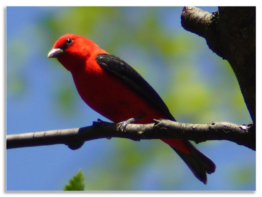Scarlet tanager; migrates 600 - 4,350 miles from its breeding site in southeastern Canada and the eastern United States to its wintering grounds in northwestern South America