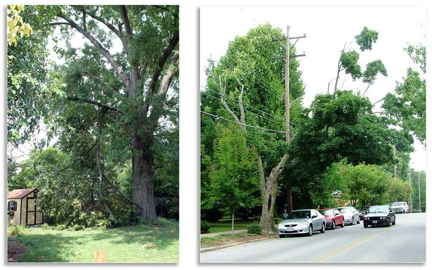 (Right) Though a large branch failed, it missed all possible targets. This is the most common scenario for failures (W. Fountain); (Left) This tree has numerous defects and potential targets.The care of trees in public areas is generally the responsibilit