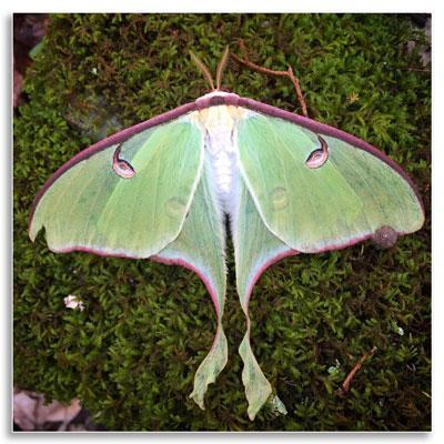 UKnTrees---3---Luna-moth