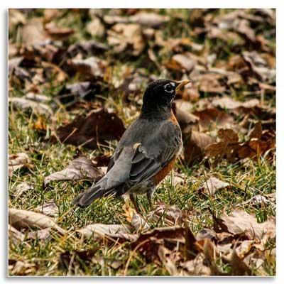 UKnTrees---6---robin