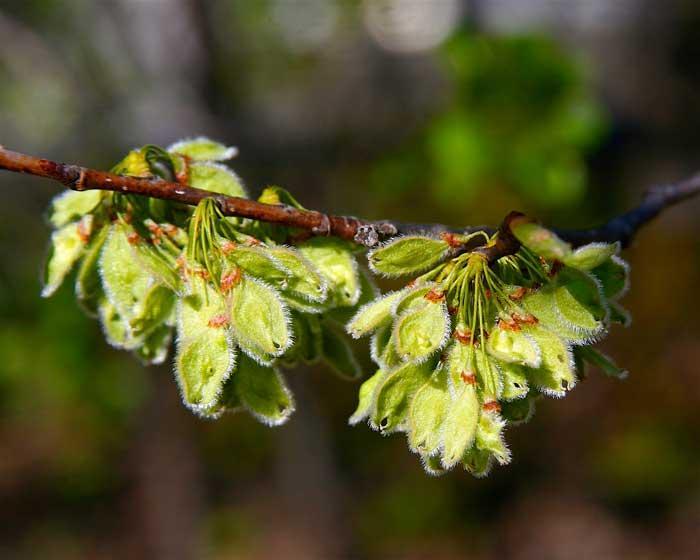 American Elm Seed (Dan Mullen, Flickr, CC)