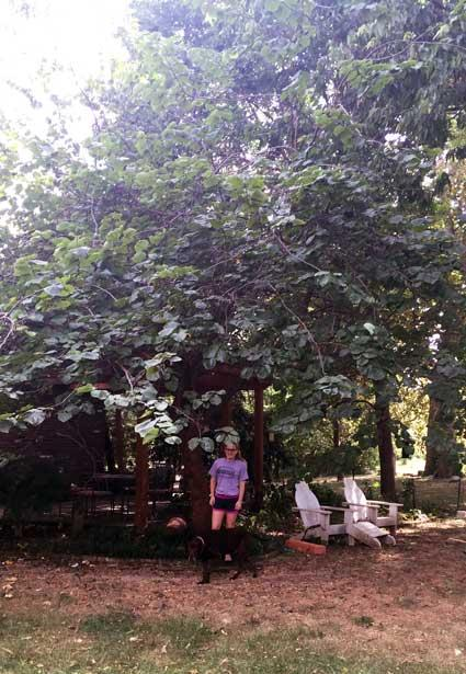 The favorite eastern redbud of Anna in Summer 2015