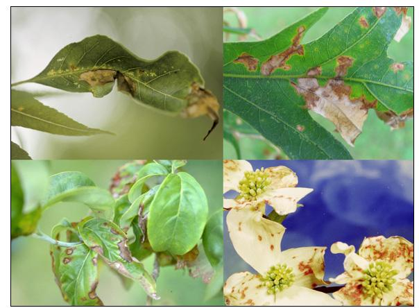 Various tree species and parts with anthracnose; Ash and oak: Joseph O'Brien, USDA Forest Service. Dogwood leaves: John Hartman, University of Kentucky.  Dogwood flowers: Clemson University- USDA Cooperative Extension Slide Series.  All photos from Bugwoo