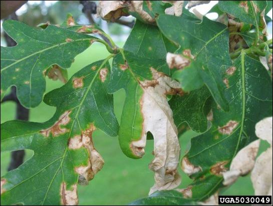 Anthracnose on white oak leaves, Joseph O'Brien, USDA Forest Service, Bugwood.org