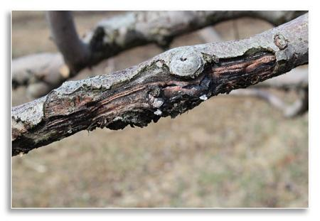 UKnTrees---branch-canker