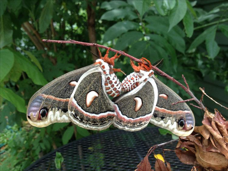 A female cecropia moth emerged from her cocoon in a Lexington backyard. A mate had arrived by the next day. Photo by Laura Baird