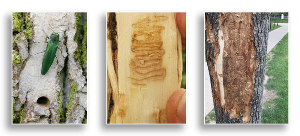 Emerald ash borer picture (University Illinois Extension) and effects (University of Kentucky Entomology lab