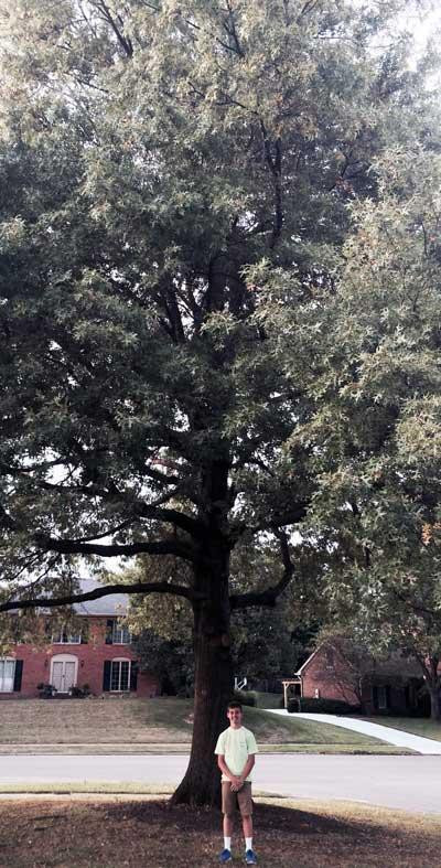 The favorite Scarlet Oak of Jackson in Summer 2015