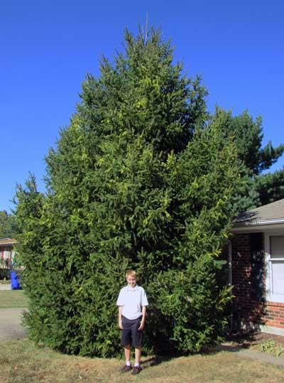 The favorite eastern white pine of Nicholas in Summer 2015