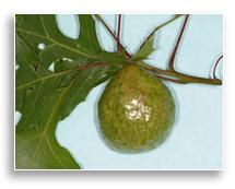 UKnTrees---oak-apple