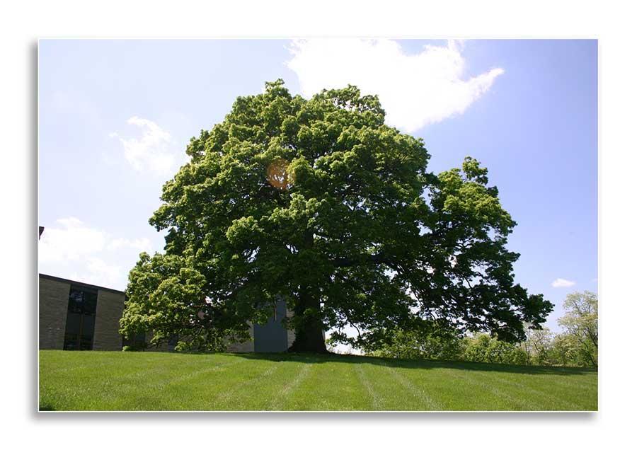 Quercus alba (Dr. Bill Fountain)