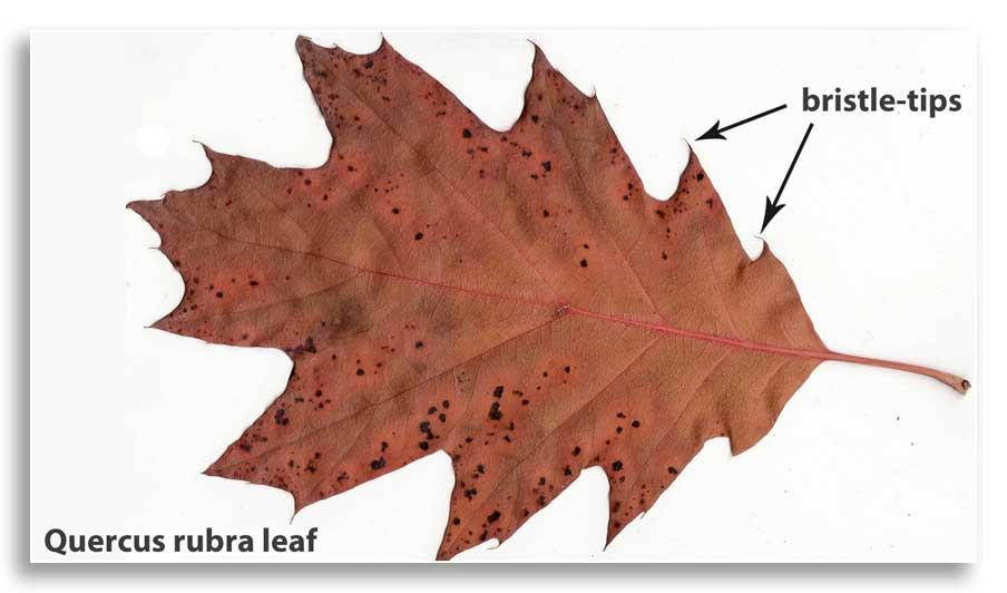Red oak leaf (CC BY-SA 3.0) with labeled bristle-tips