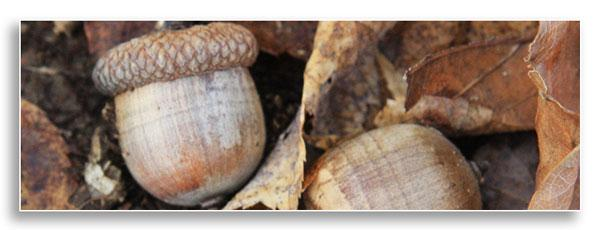 Red oak acorns (CC-A-3.0)