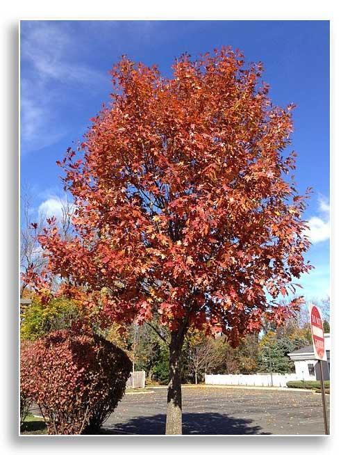 Red oak street tree (CC-ASA-4.0)