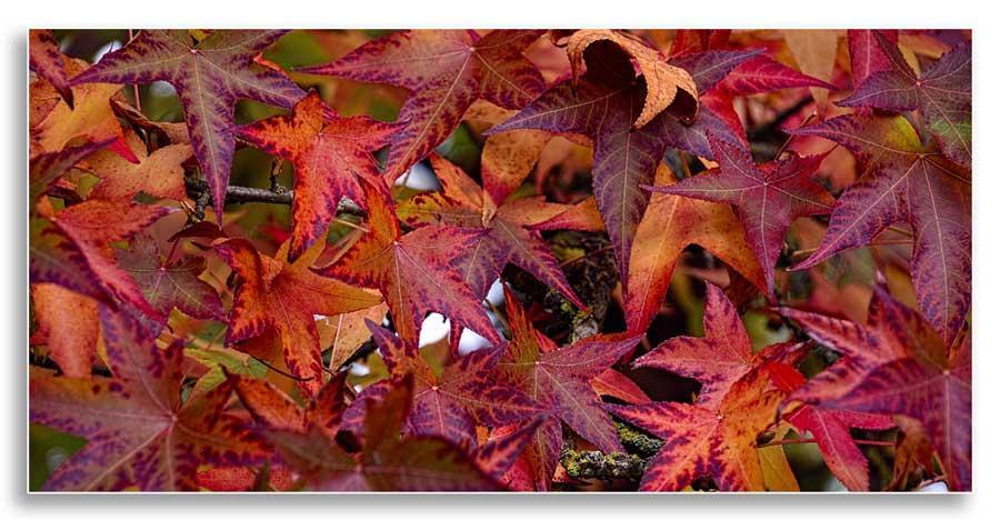 UKnTrees---sweetgum-fall-leaves